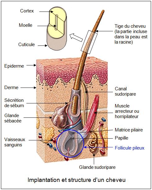 Implantation et structure d'un cheveu